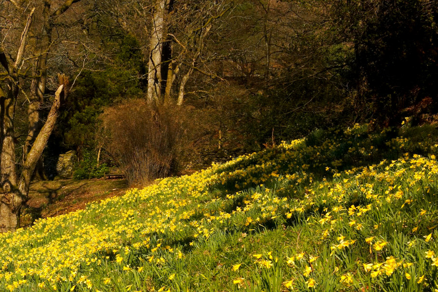 Daffodils - Be Inspired The Tranquil Otter