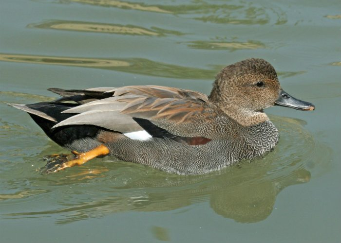 Gadwall at the Tranquil Otter