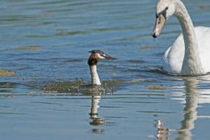 Wildlife Report 2018 - Great Crested Grebe seen at the Tranquil Otter