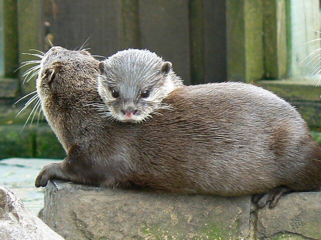 Fascinating facts about otters