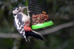 Great_spotted_woodpecker_Steve_C-2-e14437796218821