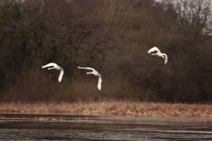 Swans-flying-e14437796321831