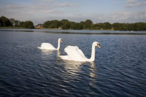Swans_the_lough-e14437800655521