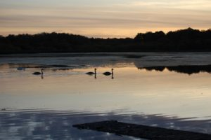 swans_evening_out-e14437780576991